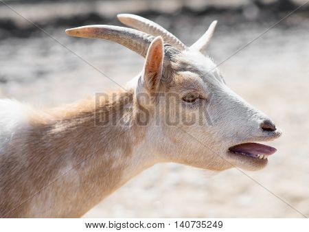 Close-up view of bleating light brown goat.