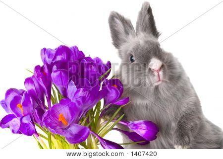 Crocus Flowers And Bunny