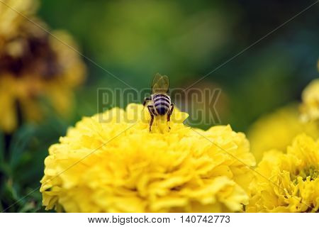Ready to fly - macro view of one honeybee (Apis mellifera)  alighted on a blooming yellow flower