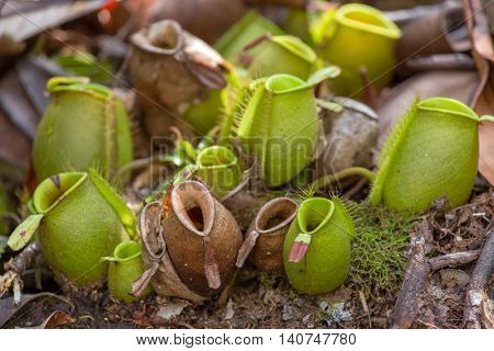Nepenthes, tropical pitcher plants (Monkey cups)