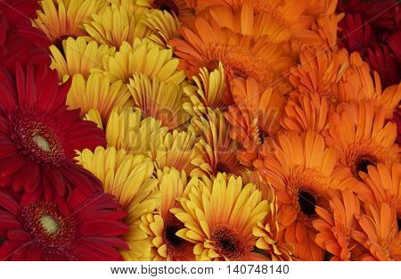 Colorful Red, yellow and orange daisies on display in Tallin, Estonia at an outdoor market
