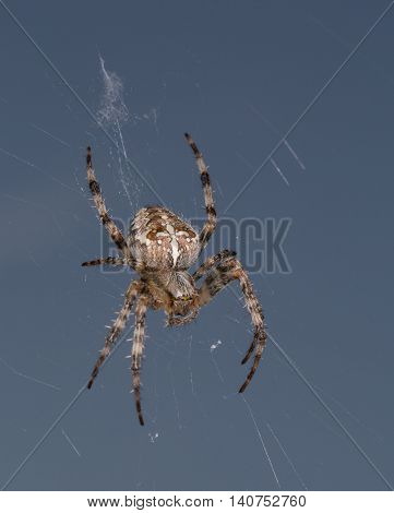 Detailed spider in the net with blue background
