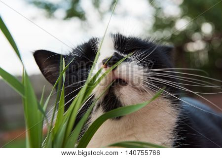 Black And White Cat Eating Grass