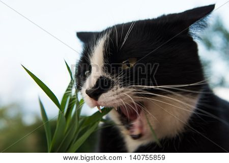 black and white cat eating grass in garden