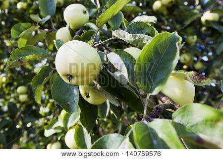 Apples on an apple tree in summer time