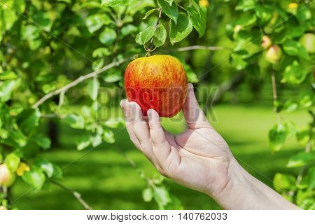 Man picking apple from tree in summer day