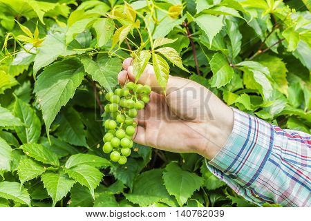 Man checks the new grapes in summer day