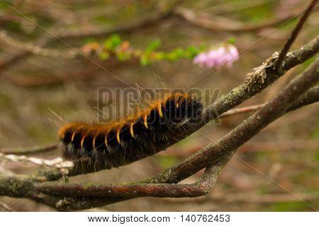 Eruca of a moth on a heath plant