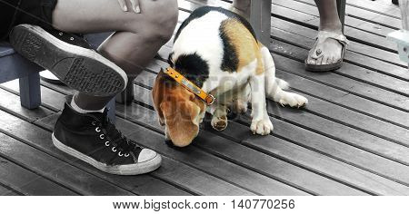Beagle Dog nose sniffing the wood floor He sitting near his boss Man and women.