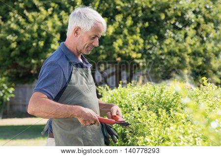 Senior man gardener cutting hedge. Portrait of a retired man pruning an hedge. Mature gardener cutting bush.