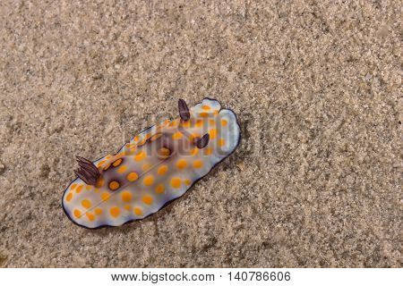 Goniobranchus Hintuanensis Nudibranch, Sea Slug