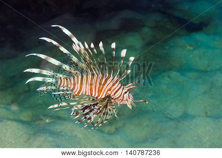 Pacific Lionfish (pterois Miles)