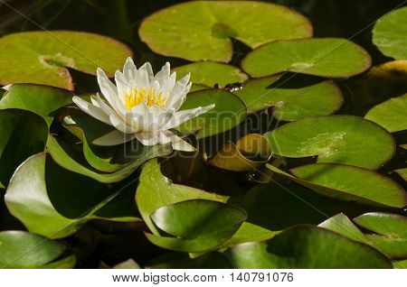 Nymphaea white flower in water on a background of green leaves