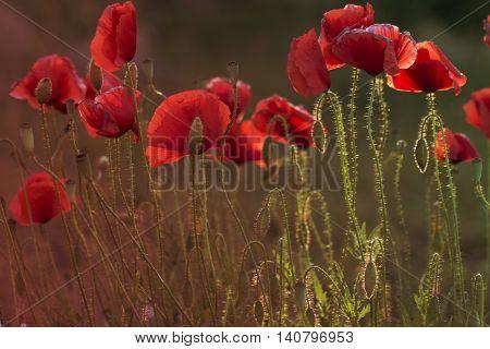 Close up poppy head. red poppy. Red poppy flowers field close up. Red poppy on green weeds field.