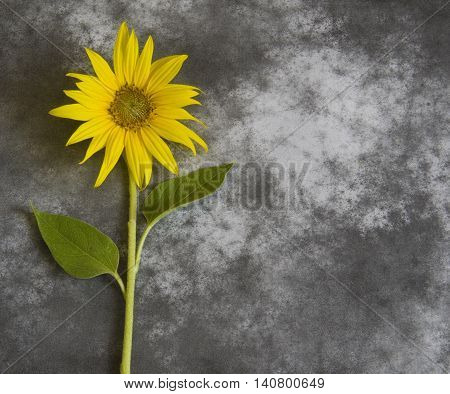 Yellow flower in blossom on dark background - condolence card