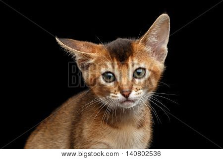 Closeup portrait of Cute Abyssinian Kitty Curious Looking in Camera on Isolated Black Background, Front view, clumsy Ear