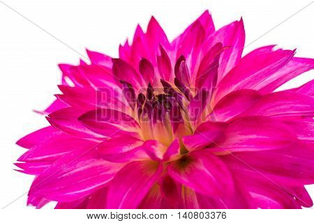 Beautiful Dahlia Flower Isolated on White Background