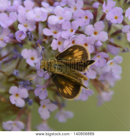 A butterfly, a Peck's Skipper (Polites Peckius) feeding on a butterfly bush during the summer in Carroll County Maryland, USA.