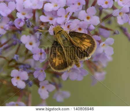 A Butterfly, a Peck's Skipper, (Polites Peckius) gathering nectar on a Butterfly bush, as shown from above.