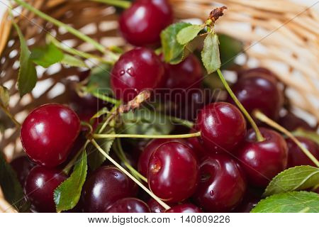 Cherry - joy for eyes and delight to mouths. Dark-red beauty with tender flesh, saturated acid taste. Delicious treat, perfectly quenches thirst in hot weather, perfect dessert for fun during the day