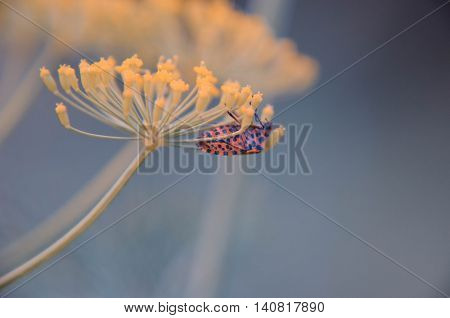 Black And Red Beetle Sitting On A Flower Dill