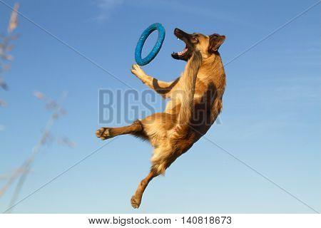 Belgian shepherd (malinois) jumping during playing with the puller