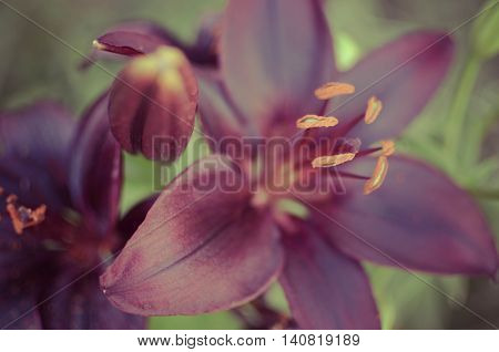 Macro Photography Of A Lily Flower With Dark Black Petals On  Background