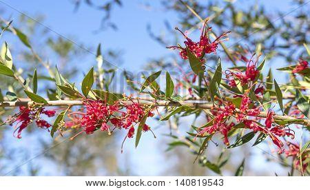 Red flowers of australian Grevillea splendour blooms growing in the garden against blue sky