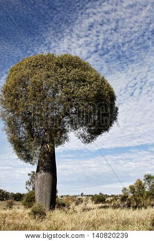 Queensland bottle tree or Brachychiton rupestris found in Australia