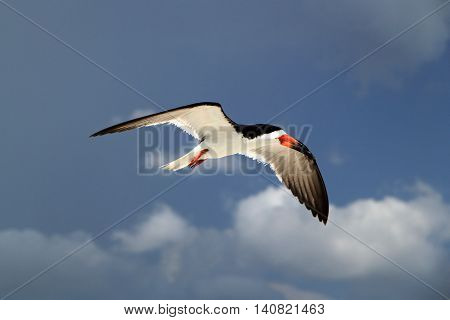 Black Skimmer in Flight on Marco Island on the Florida Gulf Coast