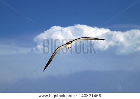 Black Skimmer in Flight on Marco Island on the Florida Gulf Coast