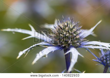 Mediterranean sea holly (Eryngium bourgatii) flowerhead. Spherical blue flowers with spiny bracts of flowering plant in the family Apiaceae