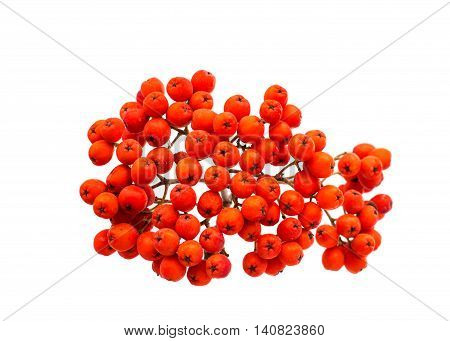 red bunch of rowan on white background