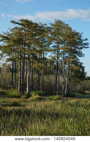 Bayou in Florida. Swamp scene in the marsh.
