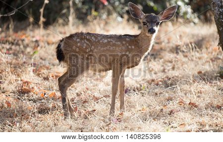 Suspicious Black-tailed Deer (Odocoileus hemionus) Fawn looking in alert. Rancho San Antonio County Park, Santa Clara County, California, USA.