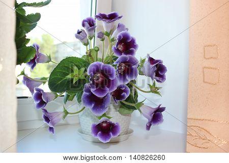 Flower of purple gloxinia on the window