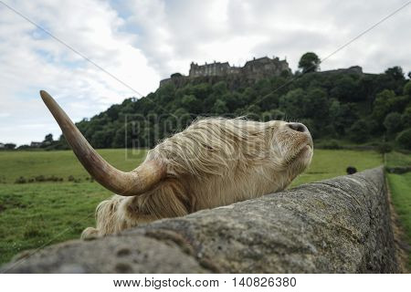 highland cow using stone wall as scratching post