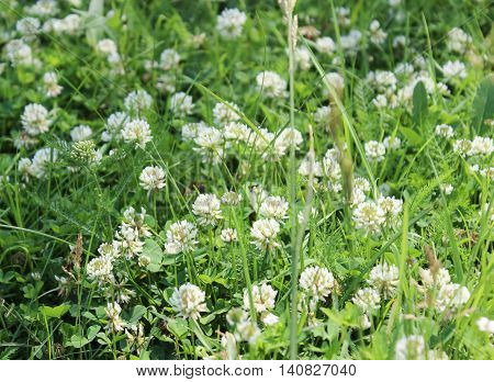 White flowers of a clover on a meadow