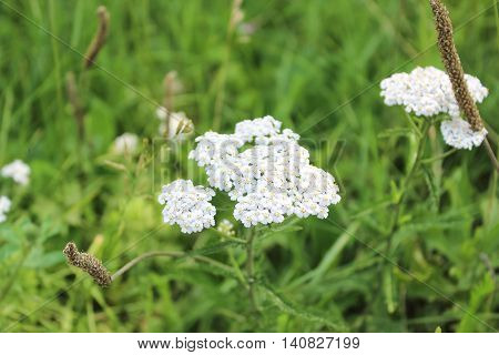 White flowers of a yarrow on a meadow