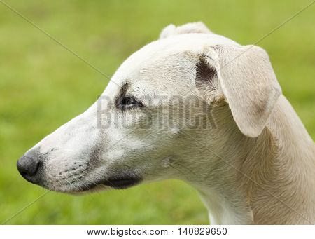 Profile portrait of a young whippet