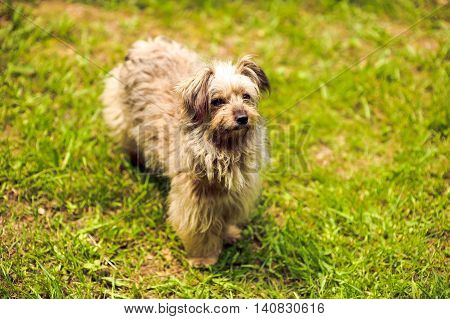 Shaggy Dog On The Grass