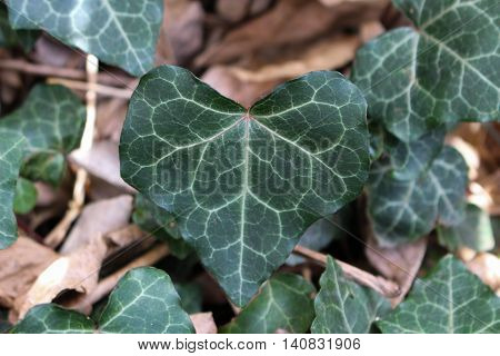 A heart shaped English ivy leave growing in the yard.