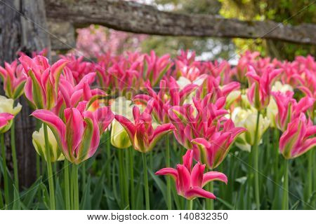 Pink and green tulips blooming in front of a rustic wood fence