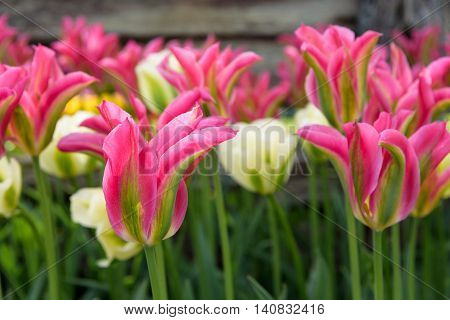 Closeup of pink and green tulips blooming in front of a rustic wood fence