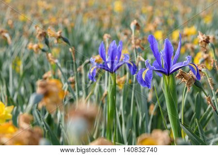 Two iris bulbs blooming in a field of spent daffodils