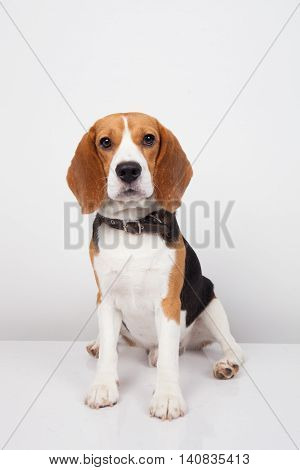 A Beagle dog isolated on white background