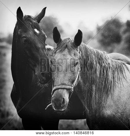 Two horses in the meadow at summer rainy day black and white photo