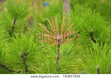 Not like everyone else. Yellow bunch of fir branch on background of the same but green. Shallow depth of field focus on yellow twig