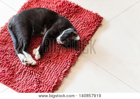 cat sleeping on red carpet copy space.