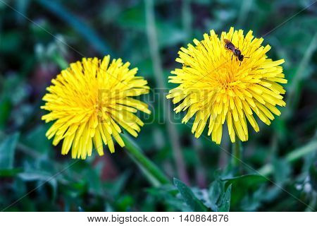 bee collects nectar on a dandelion, yellow dandelion, flower, green grass, yellow pollen. bright spring natural background with dandelions